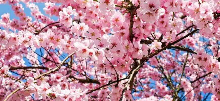 fleurs japon